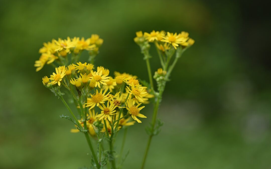 Ragwort – The Dangers and Prevention